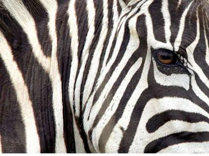 Zebras_wideweb__430x322